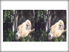 3D Movie 1 - Gibbon
