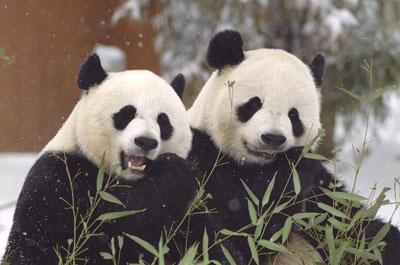 Pandas at the National Zoo. Credit: Ann Batdorf, National Zoological Park, http://nationalzoo.si.edu/Animals/PhotoGallery/GiantPandas/default.cfm