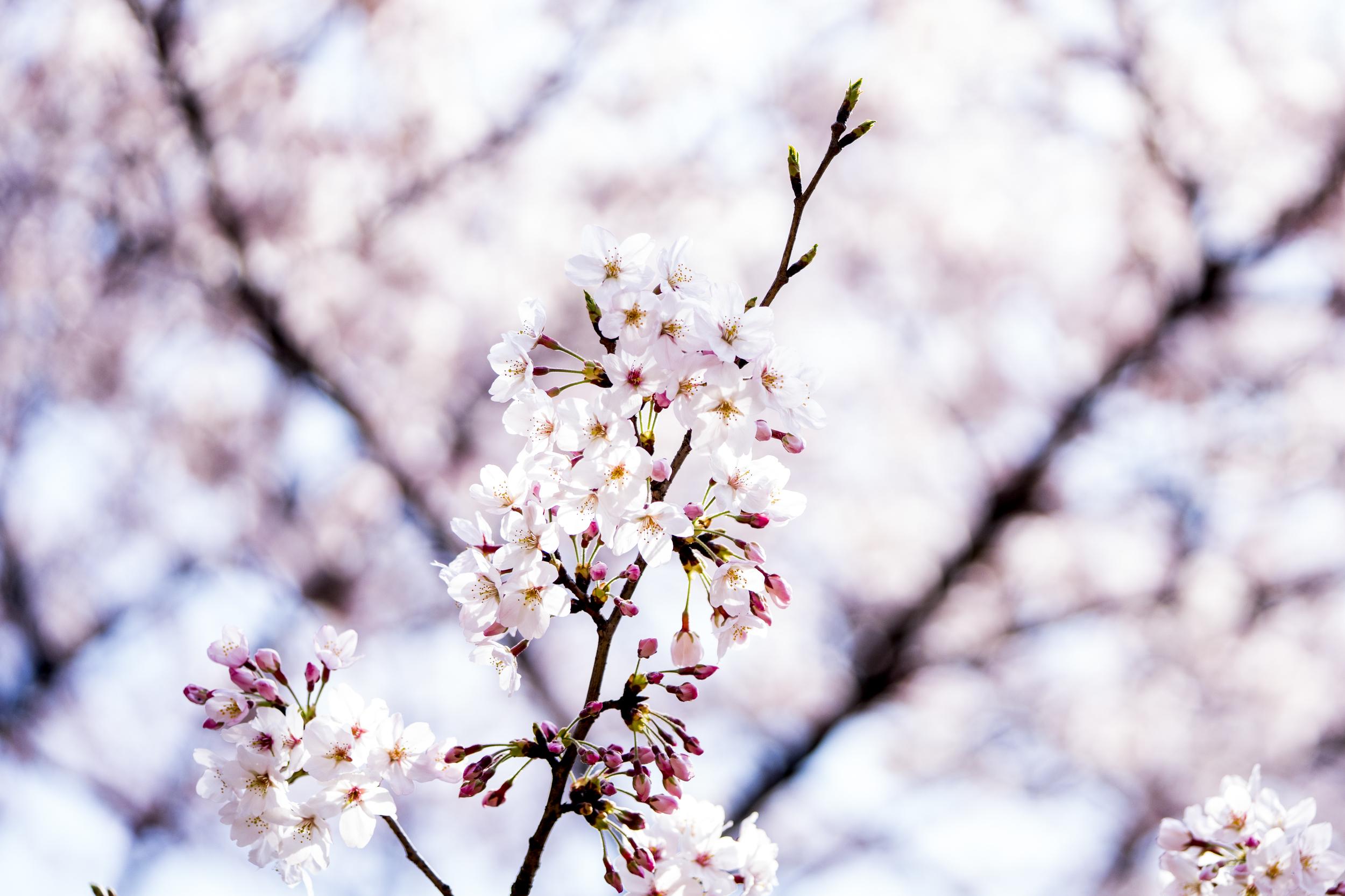 Japan - 2016 - Blossum