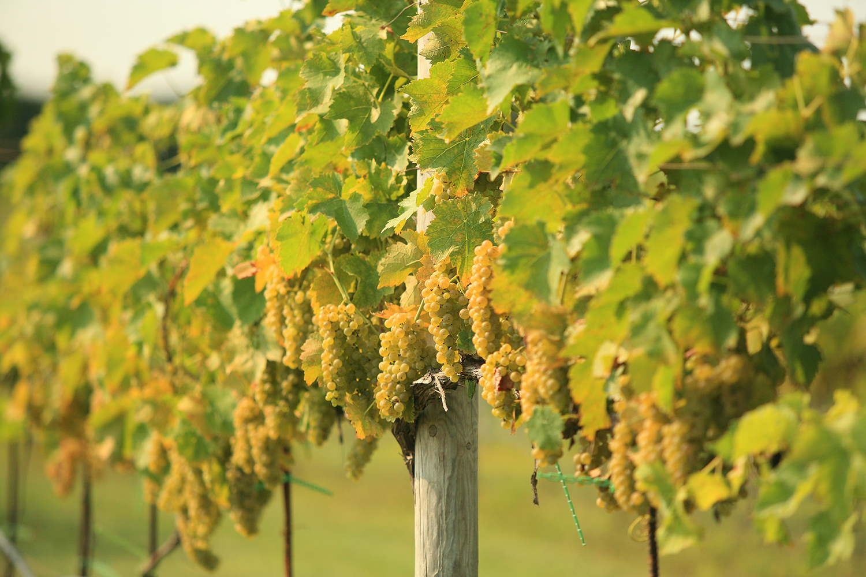 craig white grapes.jpg