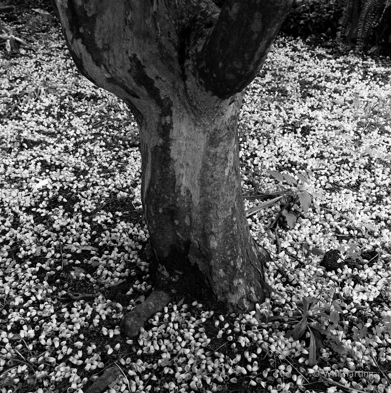 Enkianthus blossoms.jpg
