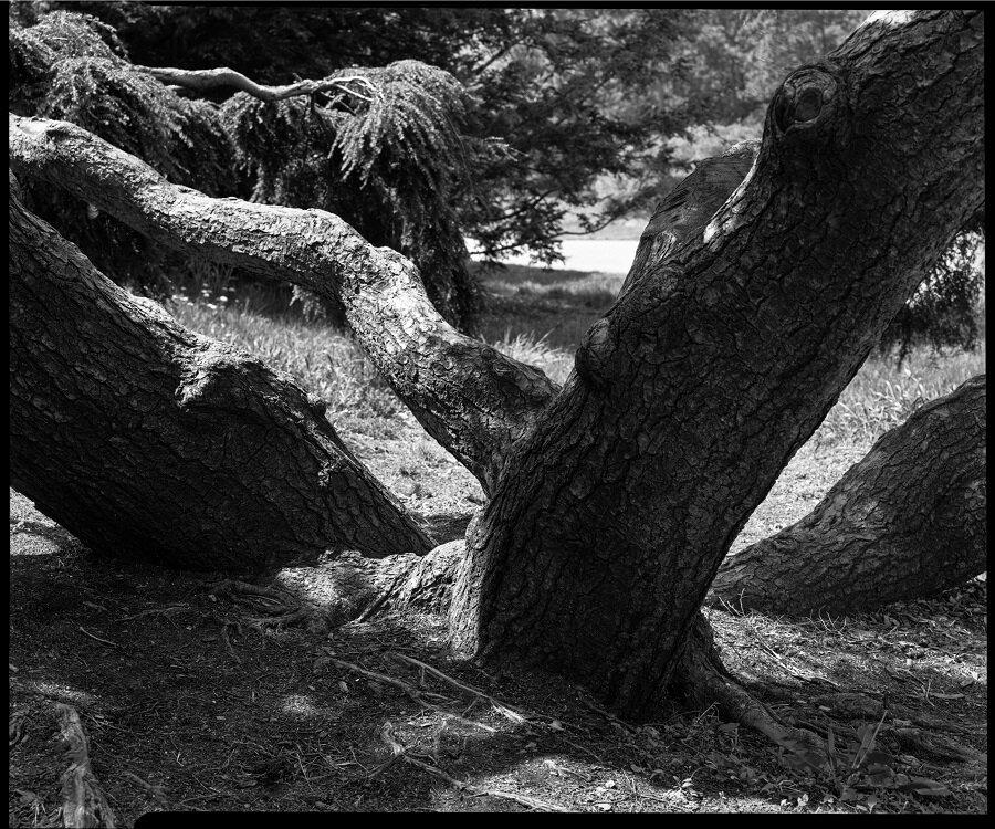 Monkey Tree, Arboretum, exhibition print