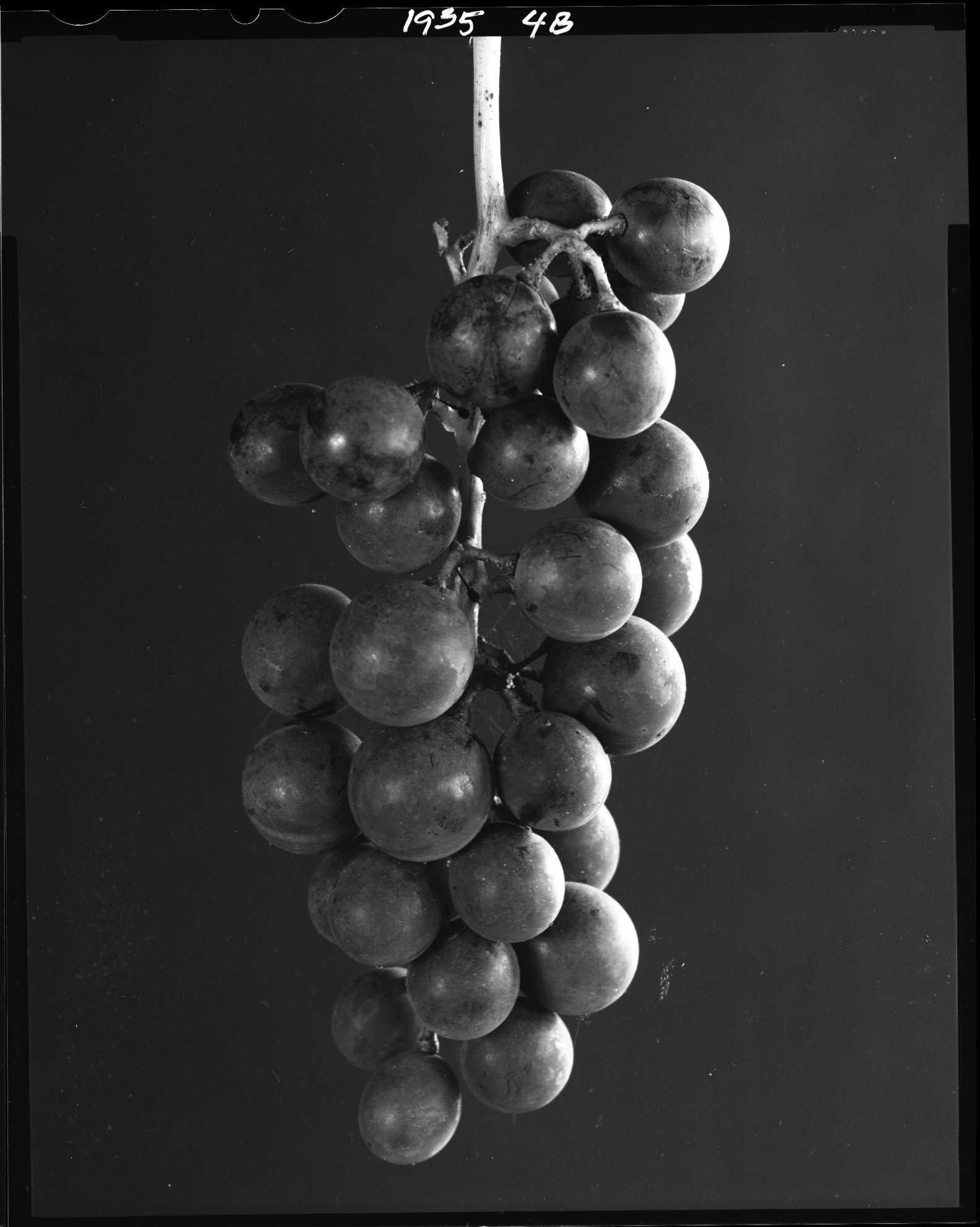 Concord grapes, from the Produce Series