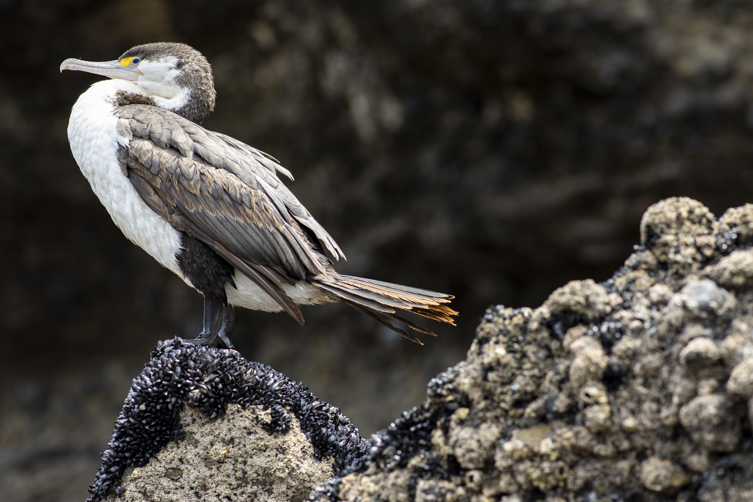 A Kāruhiruhi or pied shag rests on a barnacle covered rock during low tide at Piha Beach in Auckland, New Zealand. (Elise Marie Photography)