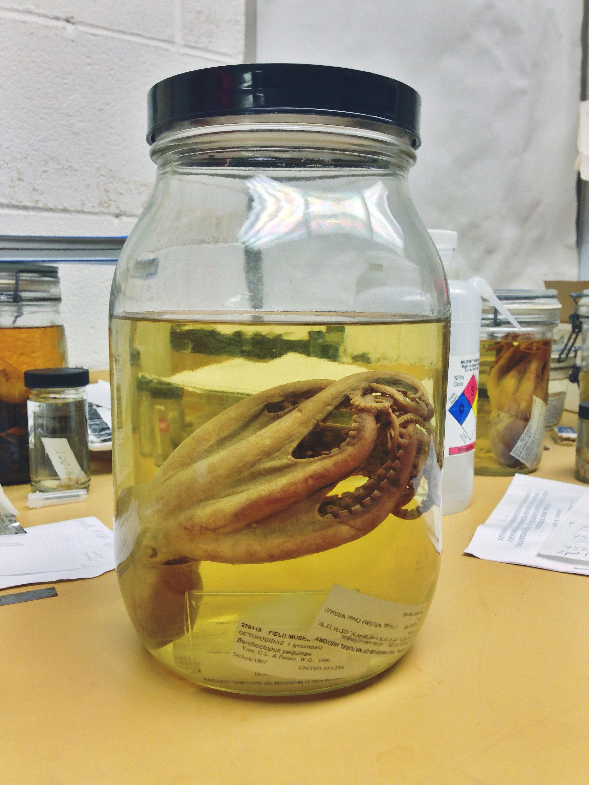 Octopodidae Benthoctopus yaquinae