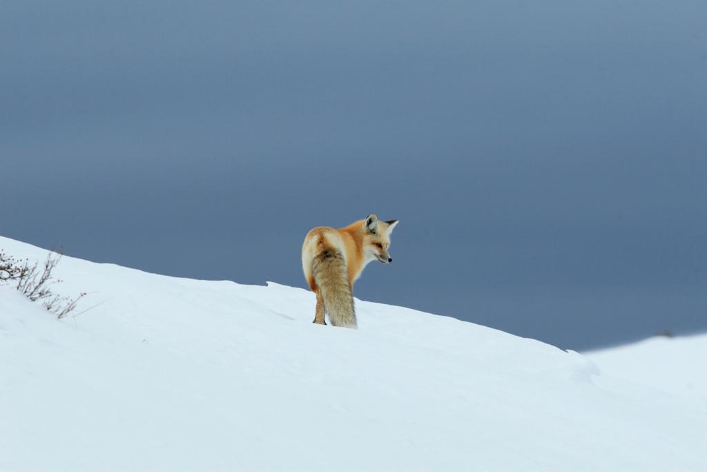 Hayden Valley Red Fox