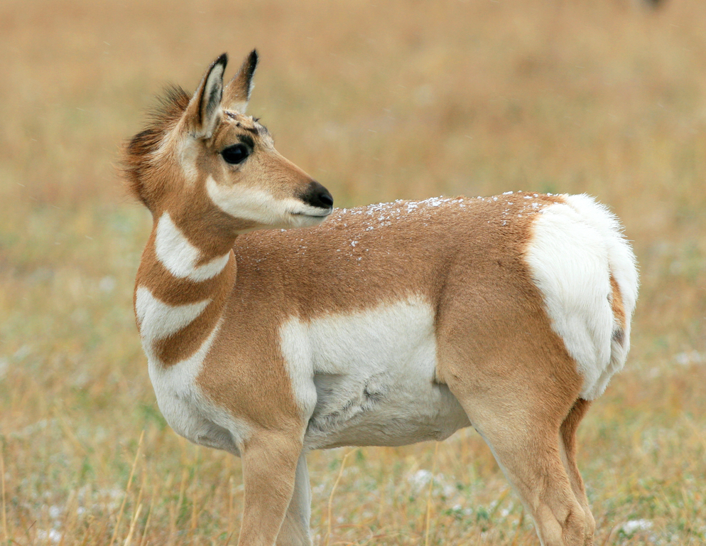 Antelope Fawn in Autumn