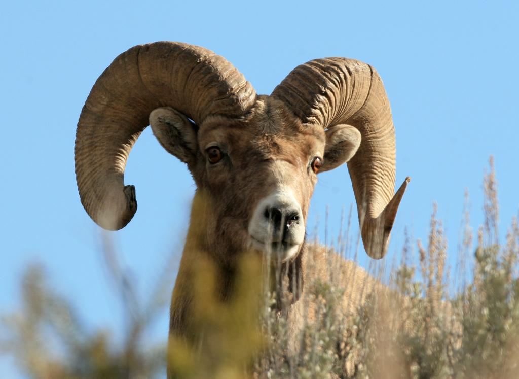 Yellowstone Ram