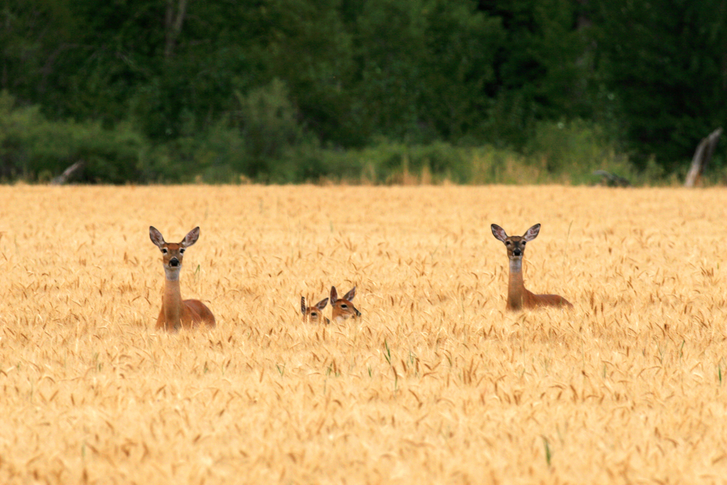 Whitetail Family in Wheat