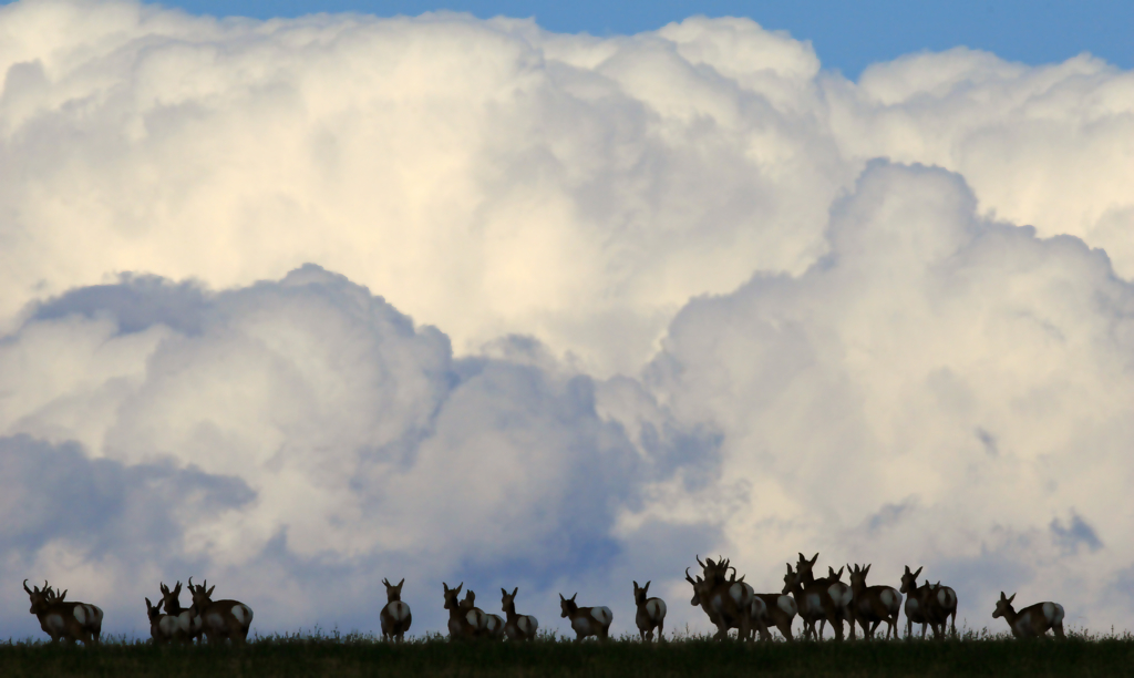 Pronghorn Amidst the Clouds