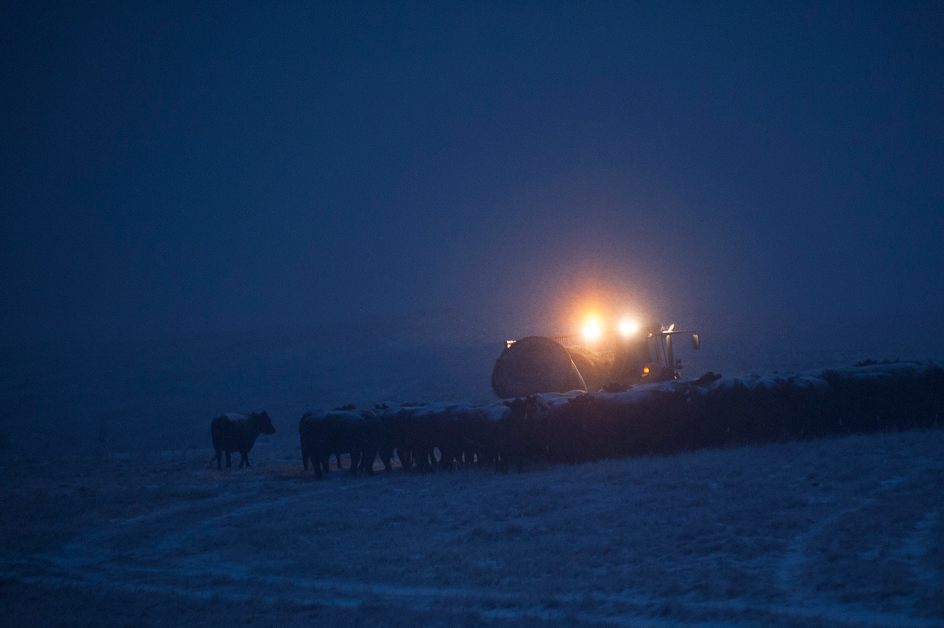 Before morning breaks, a tractor drops round bales of hay at a rendezvous point on the Thackeray Ranch, the summer range for a herd of 400 cows that will be moved 13 miles to the Northern Agricultural Research Center where they will graze, calve and be studied. The lead cow follows the slow-moving tractor, and the rest of the cows fall in line.