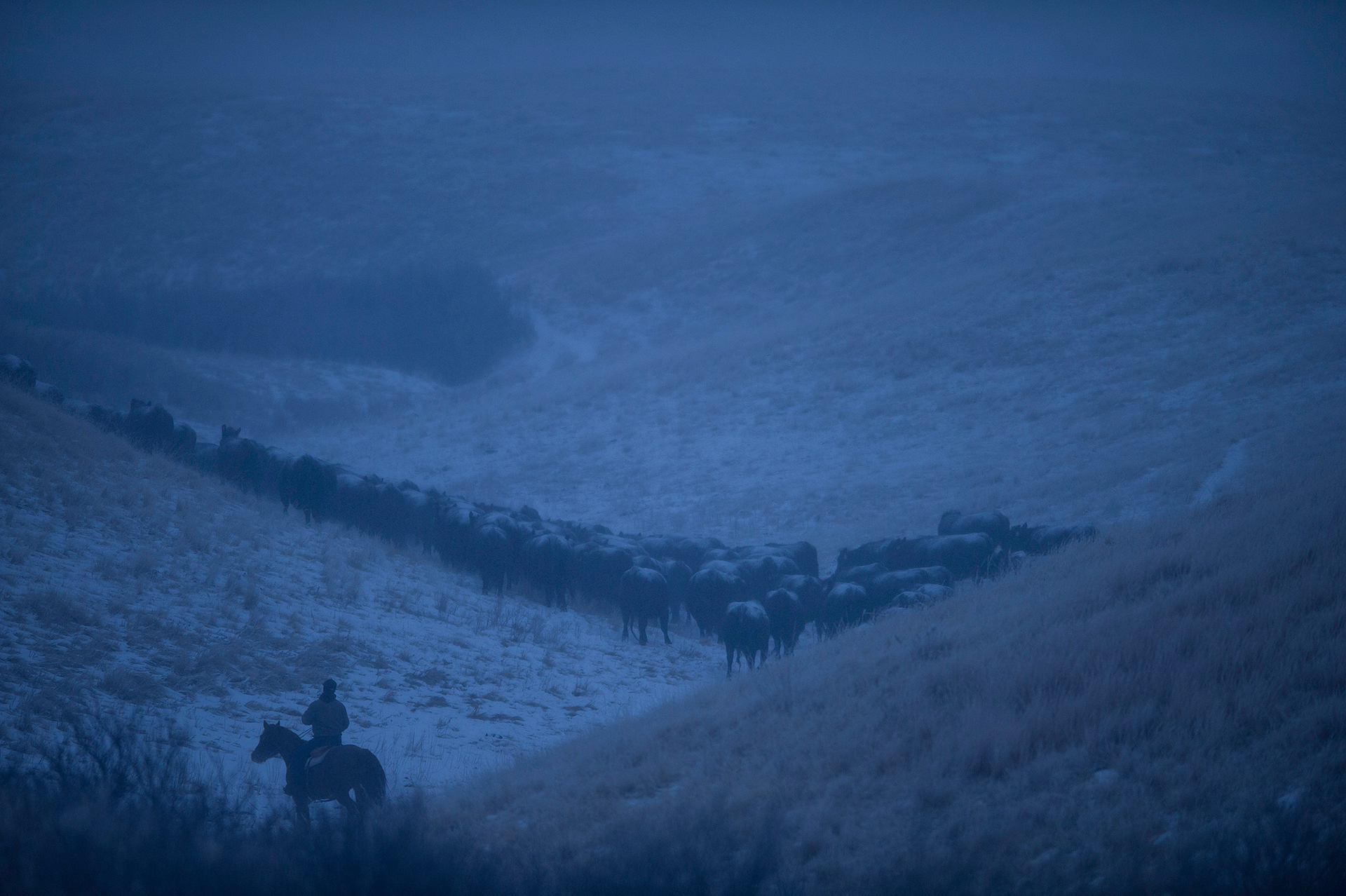 January might seem like an odd time for a cattle drive, but Darrin Boss, superintendent of the NARC and Montana State University research professor of beef cattle nutrition says that frequent Chinook winds on the property clear the 3,960 acres of grazing land of snow and ice on the ranch and provide ample forage into January.