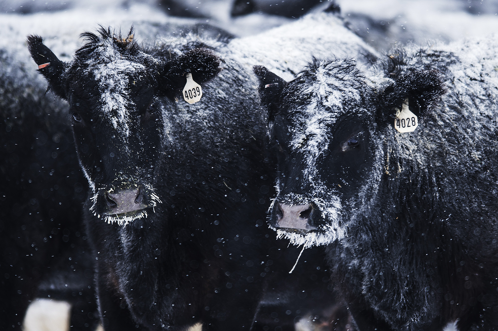 Once the cattle are at the NARC, the spend the next few months, through calving season, at the 3,000-acre facility that is part of Montana State University's College of Agriculture. Data from research is used to improve cattle throughout Montana.