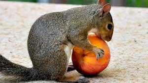 blog_squirrel_peach_1540_0.jpg
