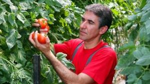 picking_tomatoes.jpg