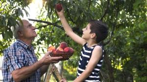 picking_peaches.jpg