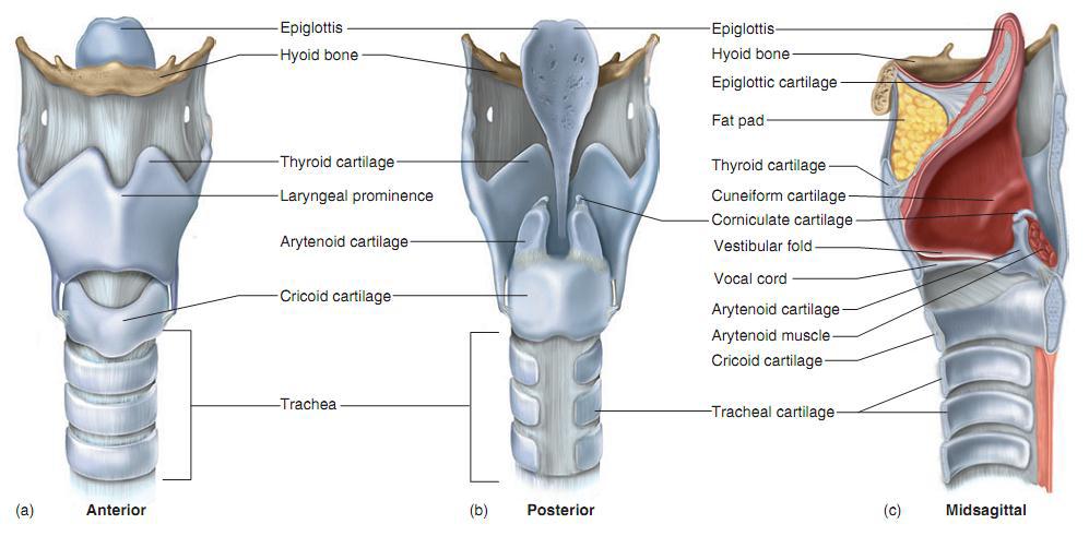 Larynx.png