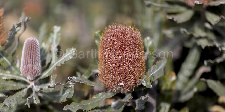 Banksia menziesii / Firewood banksia