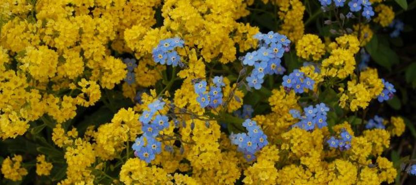Alaska's State Flower: the Forget-Me-Not