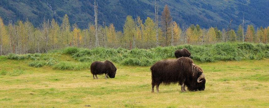 Musk Ox at the Alaska Conservation Center.