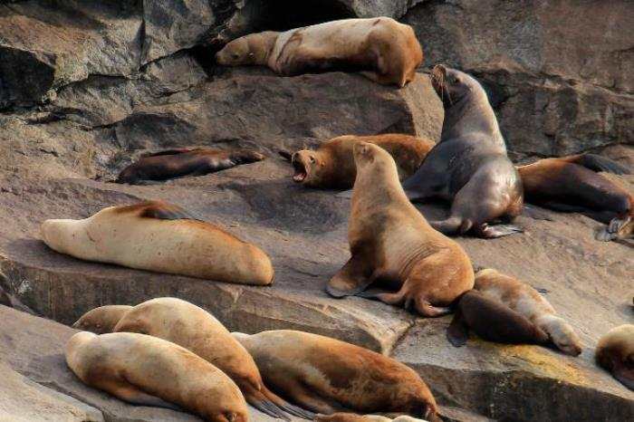 Sea Lions warming themselves in Resurrection Bay.