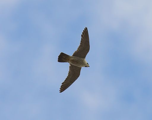 Peregrine Falcon  By Stefan Berndtsson (Pilgrimsfalk / Peregrine Falcon) [CC BY 2.0 (http://creativecommons.org/licenses/by/2.0)], via Wikimedia Commons