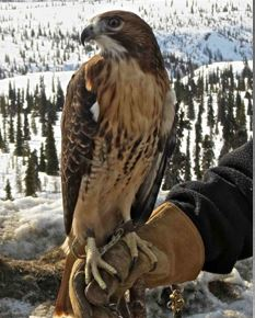 Eastern Red-tailed Hawk. Photo courtesy of AWBRC