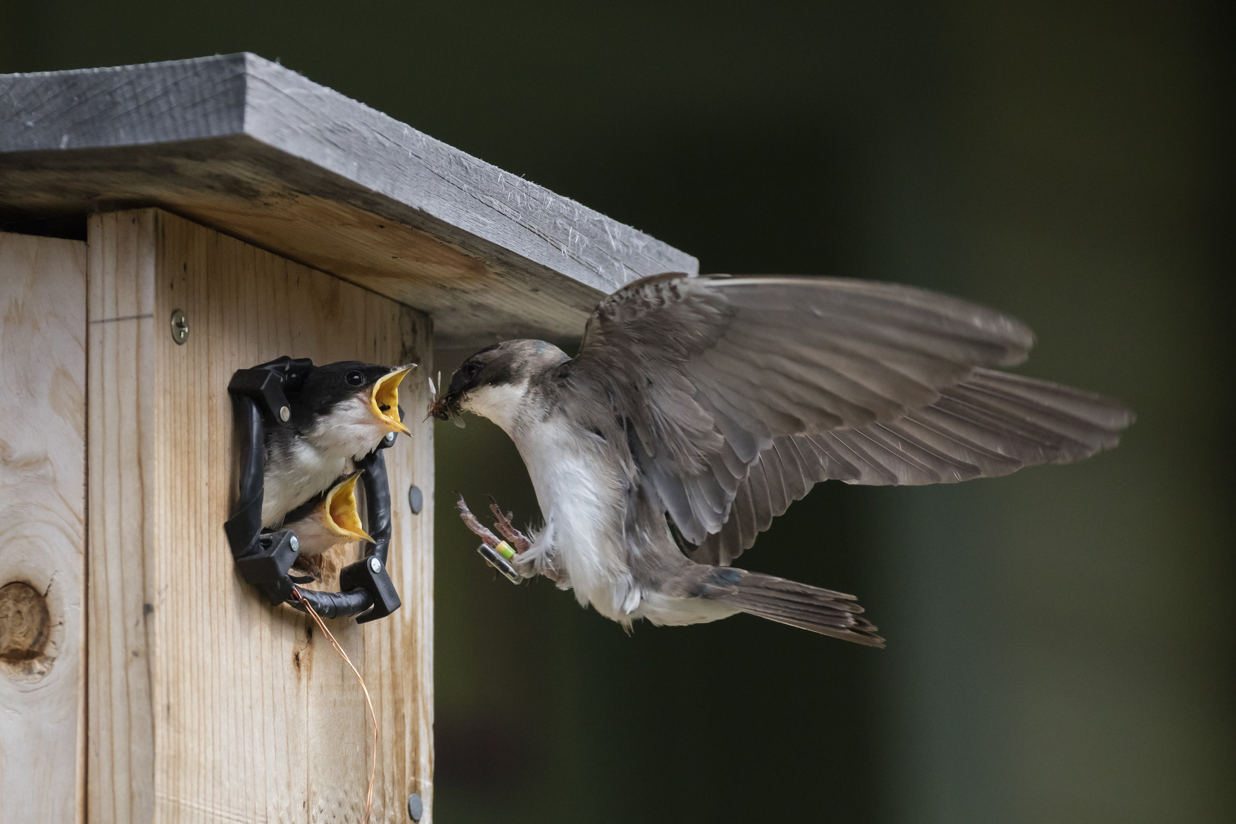Banded swallows that are part of a long-term study by researchers supported at the Wrangell Mountain Center