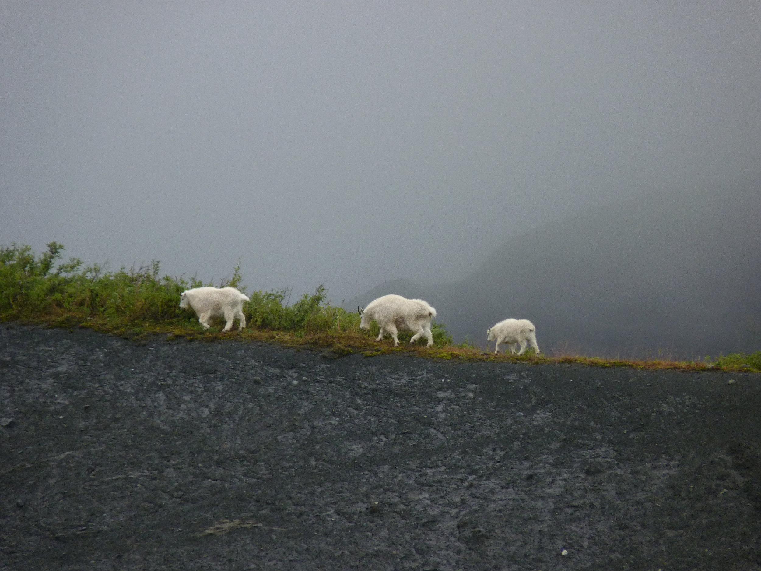 Mountain goats walk through the Wrangell Mountains with ease