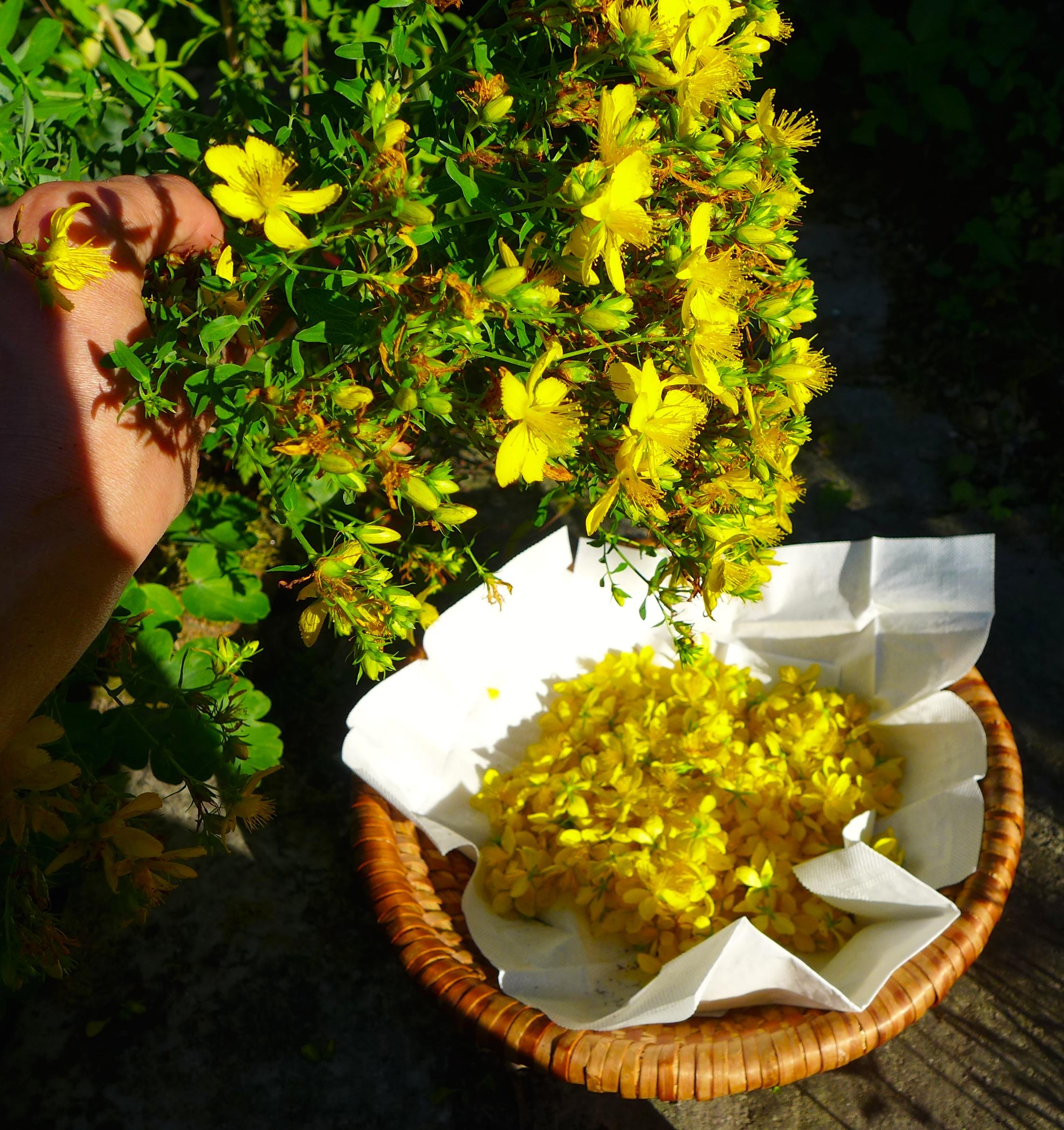 Johanniskraut blüht von Juni - August und kann daher immer wieder geerntet werden.