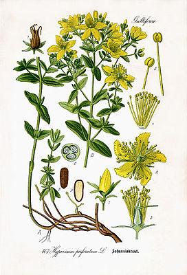 Bild:http://de.wikipedia.org/wiki/Echtes_Johanniskraut