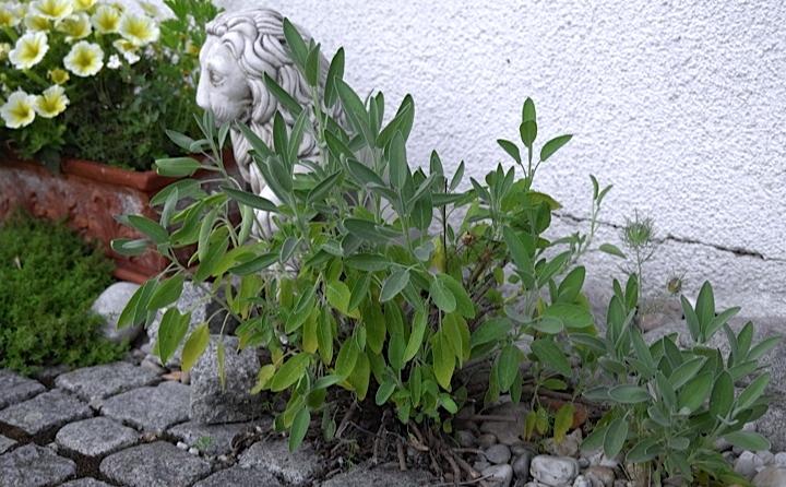 Egal ob im Gemüsebeet oder an der Hausmauer entlang. Salbei ist eine genügsame Pflanze und wächst fast überall.