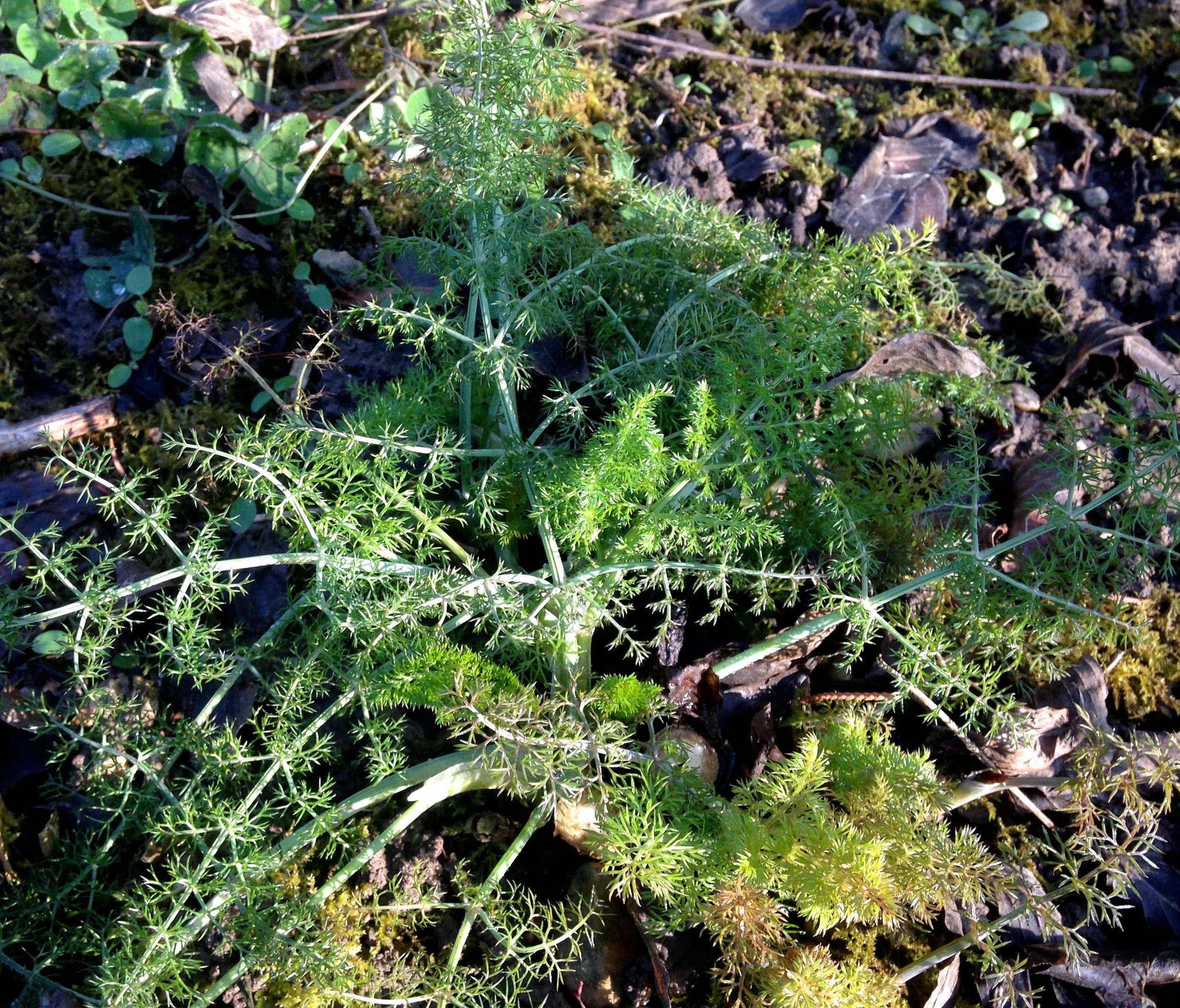 Wilder Fenchel ( Foeniculum vulgare)