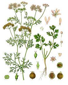 KORIANDER: Illustration aus   Köhler's Medizinal-Pflanzen: