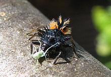 Marienkäferlarve Foto: Wikipedia
