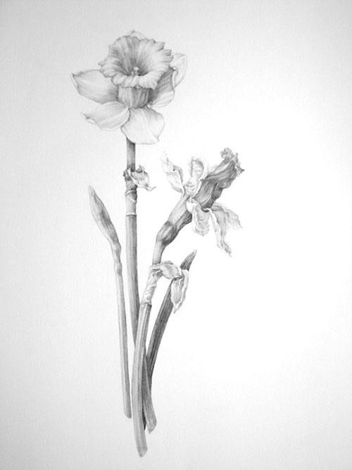 Daffodil-pencil_500.jpg