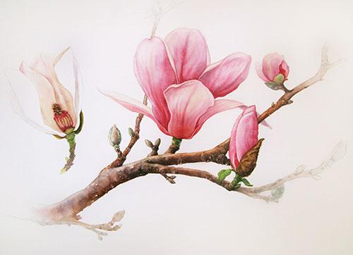 magnolia-waterclour_500.jpg