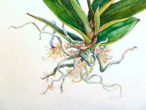 roots,-orchid-closeup_500.jpg
