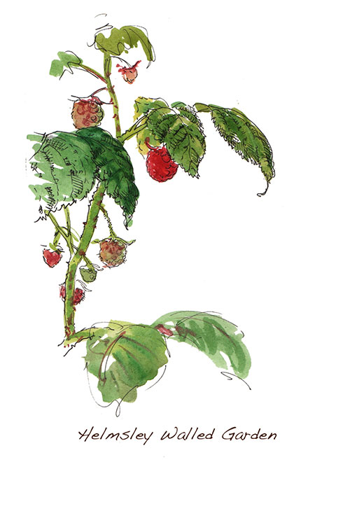 Helmsley-Walled-Garden_rasberries_500.jpg
