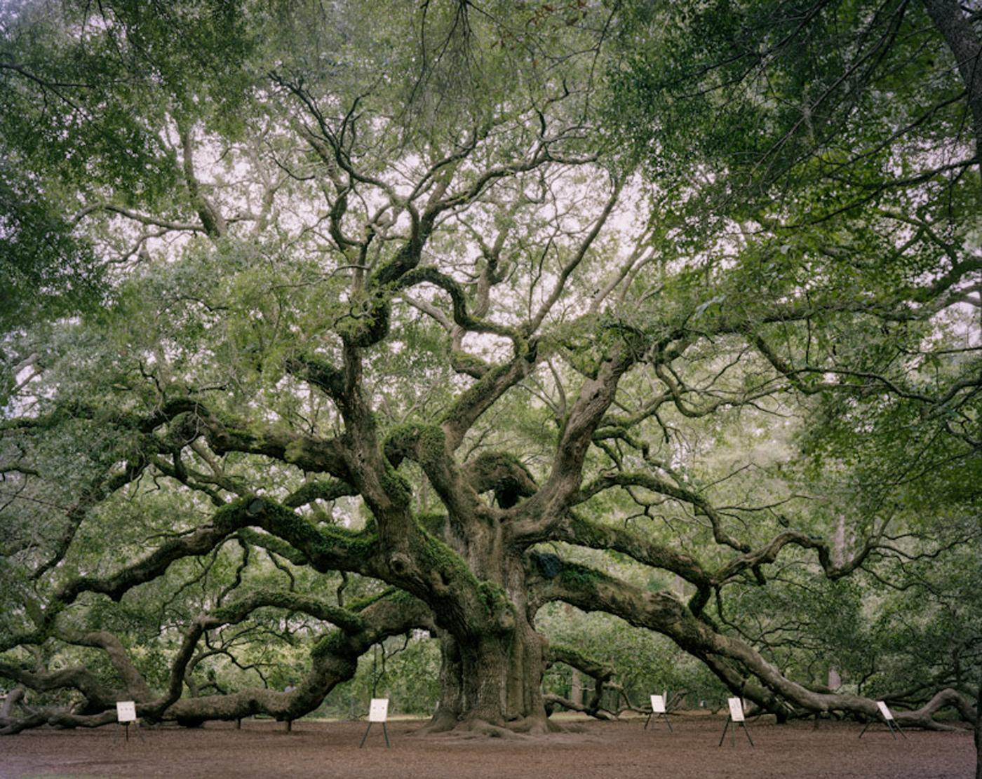 Angel Oak. Johns Island, South Carolina  2011, archival pigment print