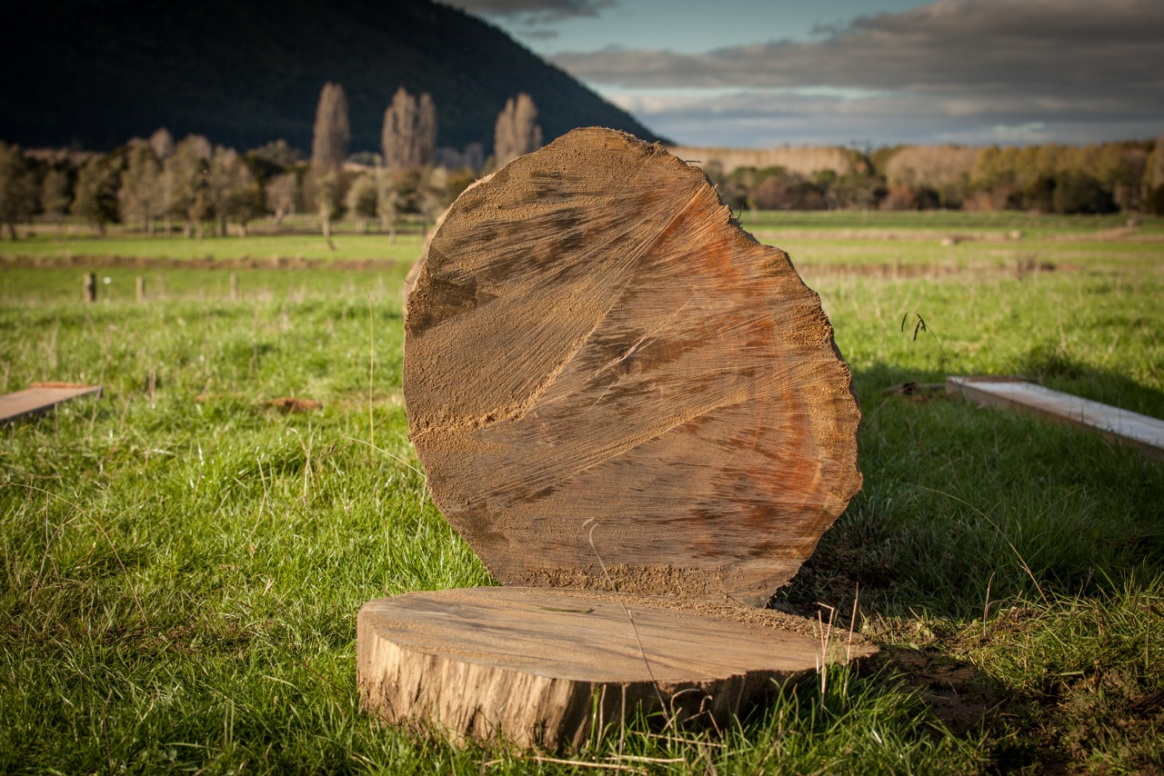 Profile of large Rimu log, approximately six hundred years old when felled.