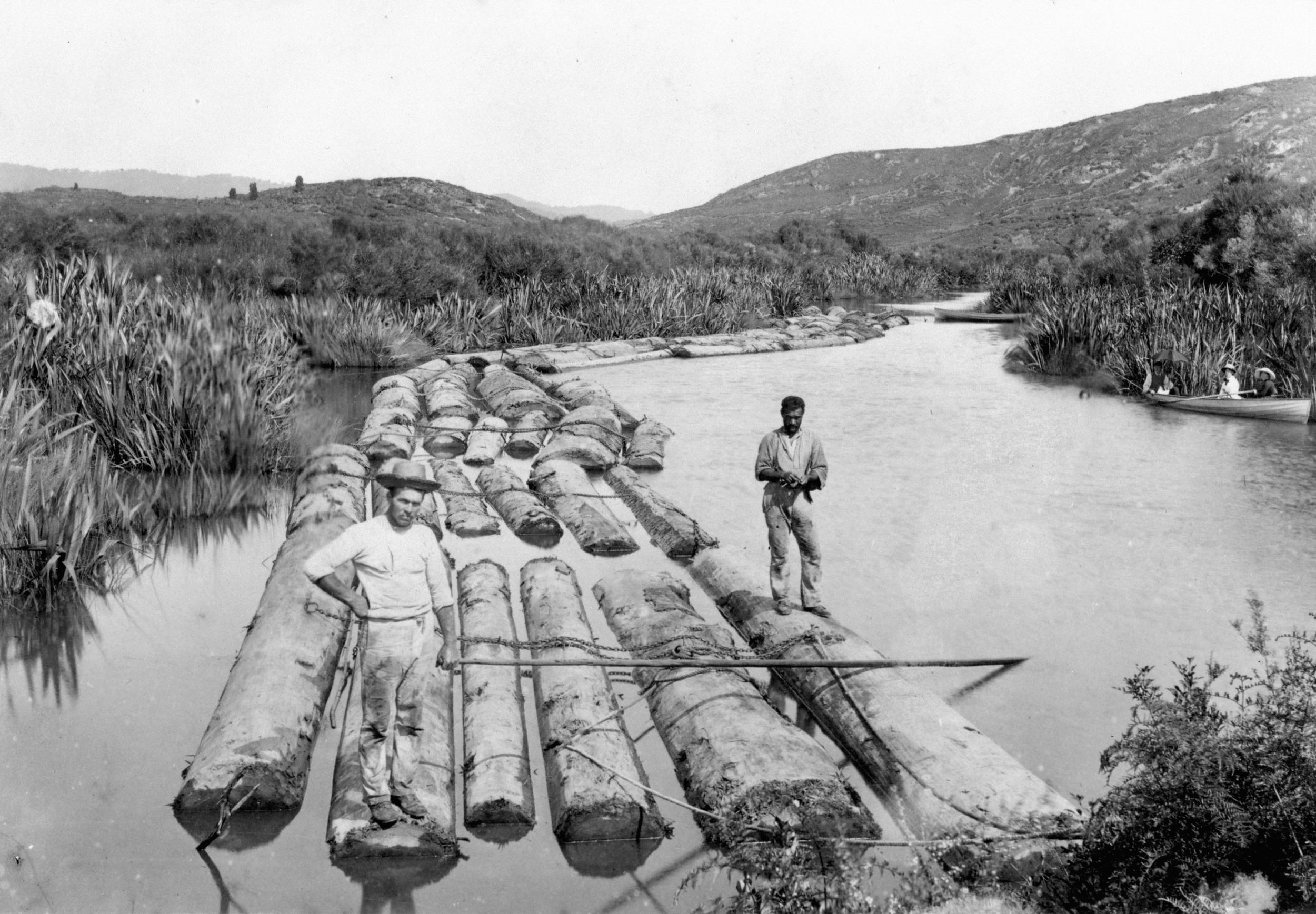 Kauri boom, Whenuakite creek