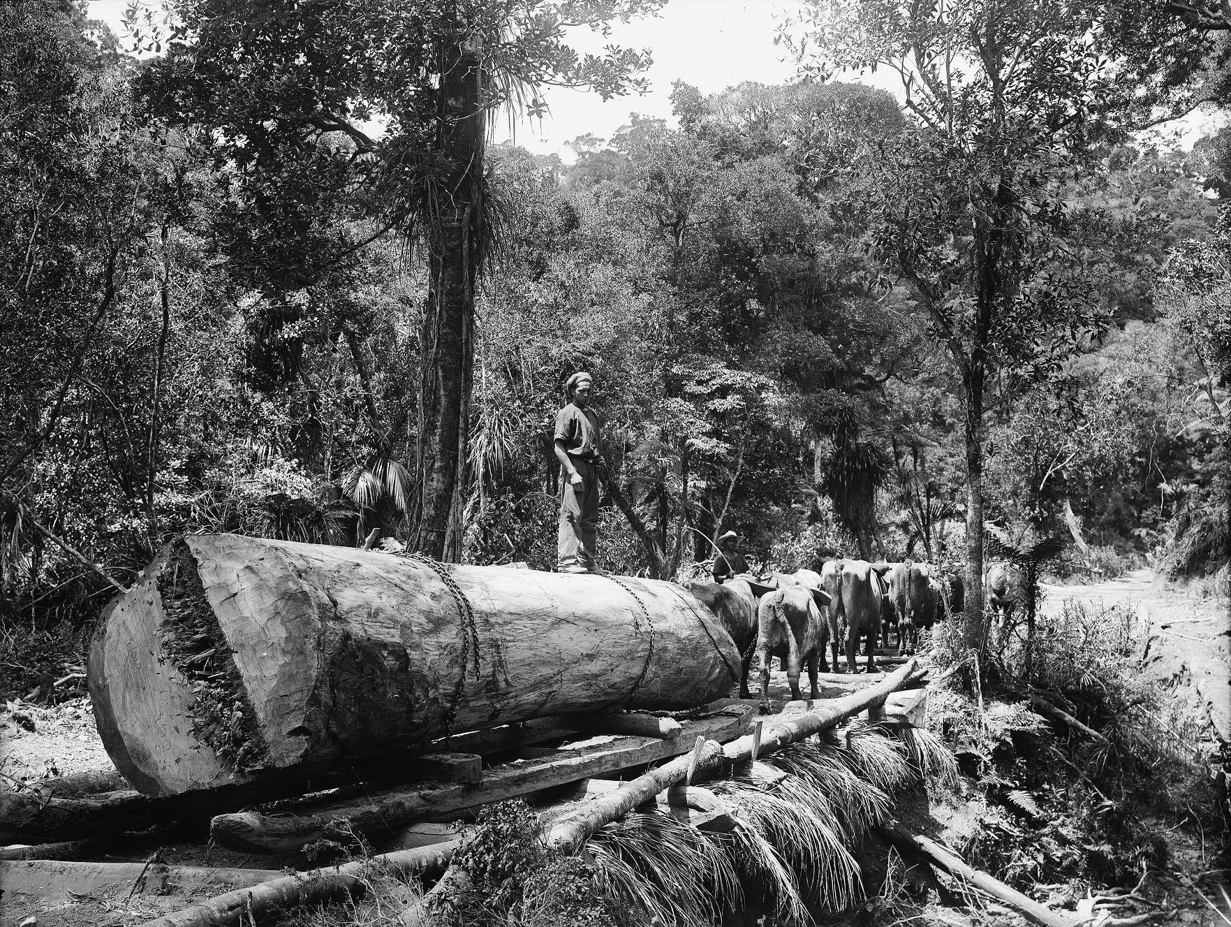 Team of bullocks hauling a Kauri log in North Auckland