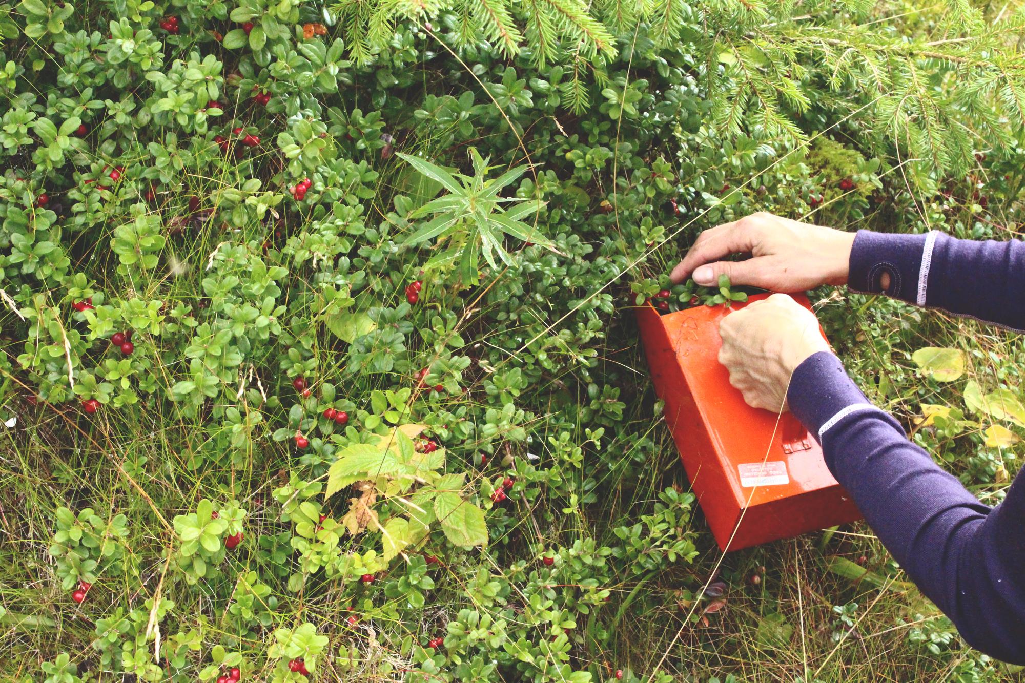 Malin  gathering lingonberries