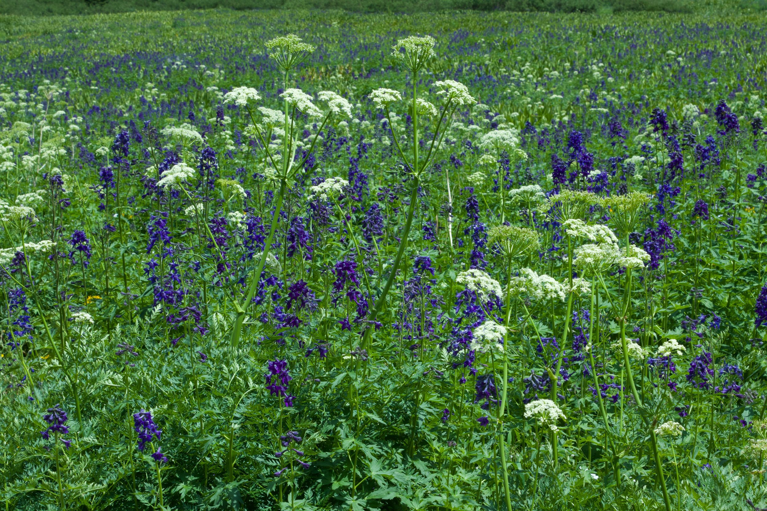 sea of wildflowers colorado rebecca mir grady