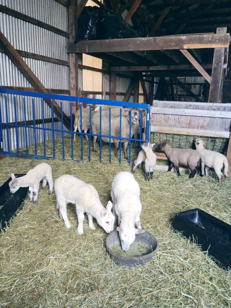 the lambs at Two Coves Farm in Harpswell