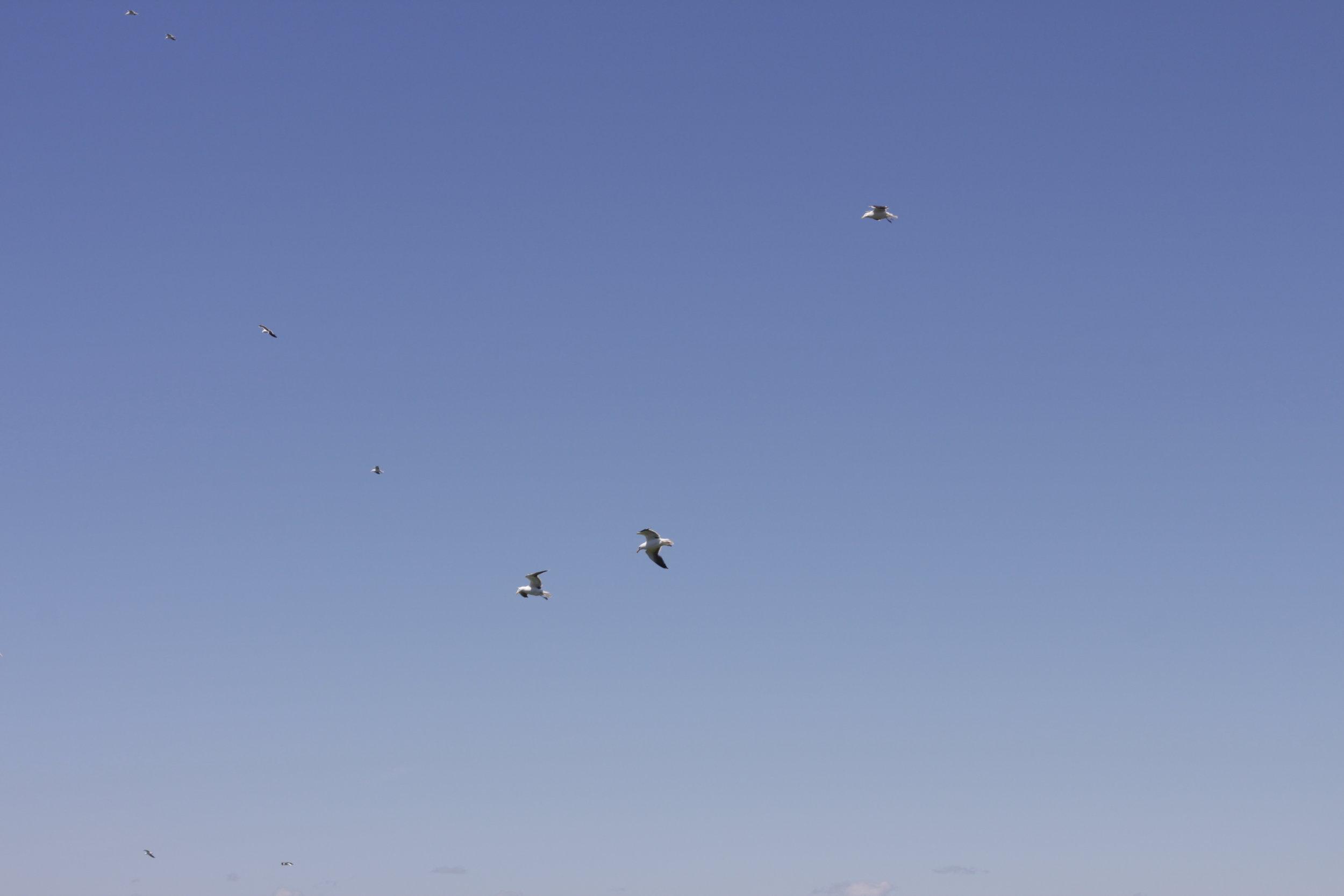 Gulls at Cape Split