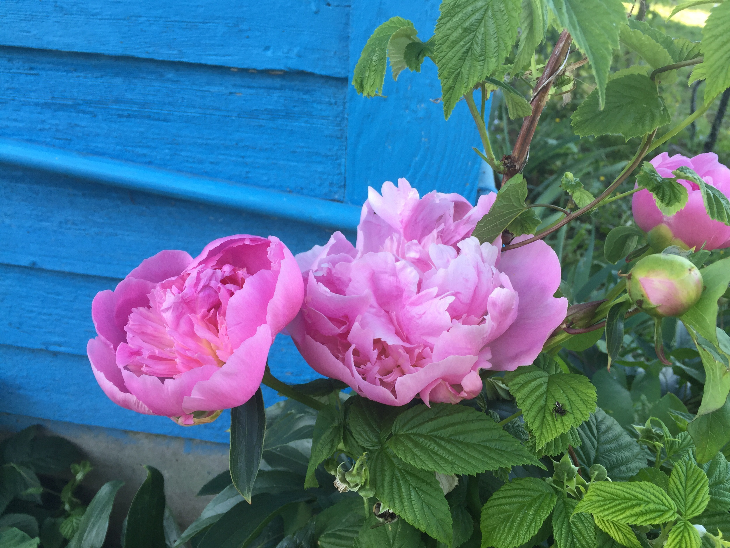 Peonies. I'm a little obsessed.