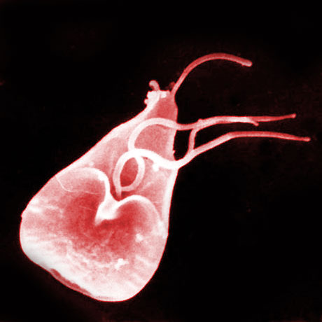Giardia lamblia. CC Image courtesy of AJ Cann