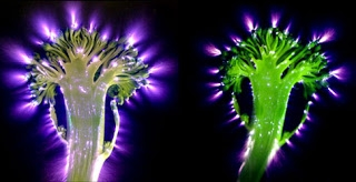 kirlian-brocolli.jpg